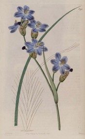 Figured are narrow leaves and spikes of sky blue, salverform flowers.  Botanical Register f.1090, 1827.