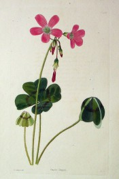 Figured are leaves with 4 leaflets with a brownish line across and pink flowers.  Loddiges Botanical Cabinet no.1500, 1828.