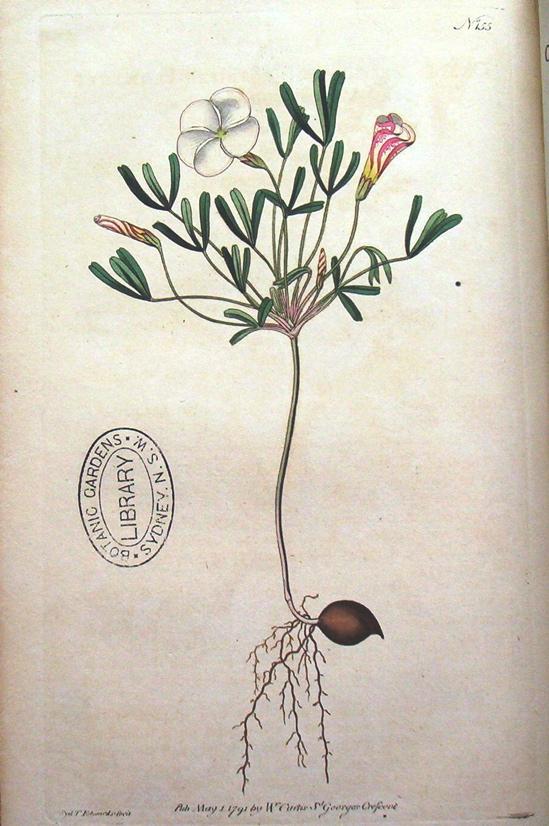 Заказ! Oxalis Versicolor, Oxalis Adenophylla. наши успехи! (вопросы, советы, фотографии) Oxalis_versicolor