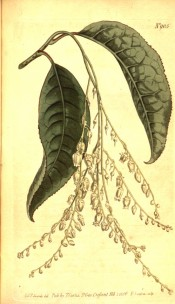The image shows leaves and drooping racemes of small, urn-shaped white flowers.  Curtis's Botanical Magazine t.905, 1806.
