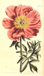 Figured are deeply divided leaves and deep pink single flower with prominent stamens.  Curtis's Botanical Magazine t.1422, 1811.