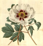 Shown are divided leaves and single white flower with purple blotch at the petal base. Curtis's Botanical Magazine t.2175, 1820.