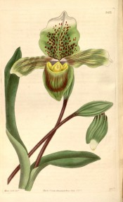 Figured are leaves and green ladies' slipper flowers marked with purple.  Curtis's Botanical Magazine t.3412, 1835.