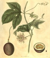 Shown are 3-lobed leaves, white flowers with purple zonal corolla and purple fruit.  Curtis's Botanical Magazine t.1989, 1818.