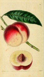Figured is a lance-shaped leaf, round, white and red peach and section showing white flesh. Pomological Magazine t.119, 1830.