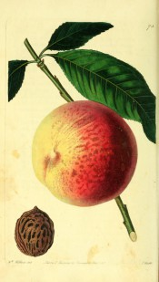 Figured is a round, marbled, yellow and red peach with lance-shaped leaf and stone. Pomological Magazine t.73, 1829.