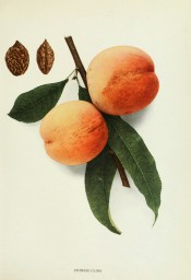 Figured are leaves and 2 peaches with yellow skin flushed red + 2 stones. Peaches of New York p.199, 1916.
