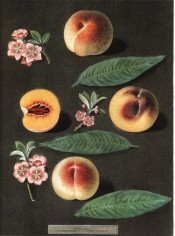 Figured are 3 varieties of peach, 1 sectioned to show orange flesh, + flowers. Pomona Britannica pl.32, 1812.