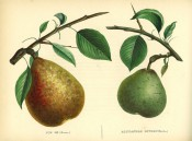 Figured are 2 pears with shoot and leaves, one small and green the other yellow, flushed red. Album de Pomologie pl.107, 1849.