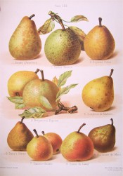 9 varieties of pear are figured, some round some pyriform, with green or yellow skin and russeted.