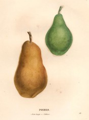 Figured are 2 large pears, one green the other uneven in shape and covered with brown russet.