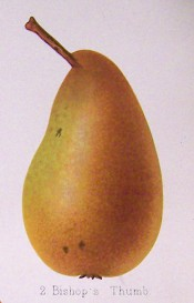 The figure shows a long, irregularly-shaped pear with green skin covered with cinnamon russet. Herefordshire Pomona pl.42, 1878.