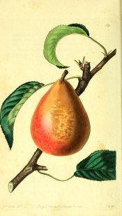 Figured is a turbinate pear, yellow-skinned, extensively shaded with red, with russet patches. Pomological Magazine t.59/1829.