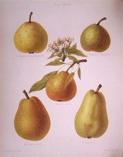 5 pears are shown, small and round to large and pyriform, skin green or yellow and russeted. Herefordshire Pomona pl.38, 1878.