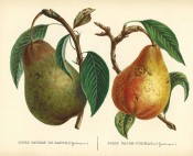 Figured are 2 pears with shoot and leaves, one green with russet markings the other yellow. Album de Pomologie pl.41, 1849.