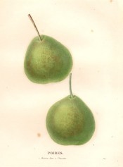 Figured are 2 very similar pears, rounded in shape with green skin mottled with brown russet.
