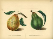 Figured are 2 pears with shoot and leaves, one dark green the other yellow with green spots. Album de Pomologie pl.48, 1847.