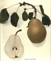 Figured is a knobbly, irregular pear with green skin covered with russet + a pear sectioned. Pears of New York p.156, 1921.