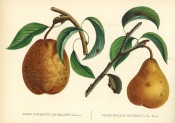 Figured are 2 pears with shoot and leaves, both deep yellow with russet markings. Album de Pomologie pl.45, 1849.