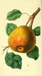 The pear figured is ovate, flattened at the crown, with yellow, red-flushed skin. Pomological Magazine t.35, 1828.