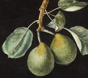 Figured is a small, nearly round, dark green pear, with leaves. Pomona Britannica pl.76, 1812.