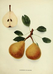 Shown are oval pears, 1 sectioned, flesh pinkish, skin yellow, red-flushed, dotted with russet. Pears of New York p.180, 1921.