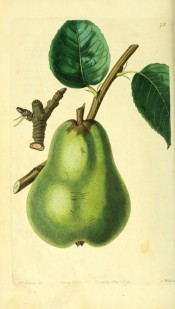 Figured is a large green pear of pyriform shape, somewhat angular in outline. Pomological Magazine  t.75, 1829.