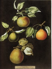 Figured are 4 pears, round to turbinate in shape and green to orange in colour. Pomona Britannica  pl.83, 1812.