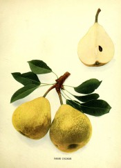 Figured are 2 pears with yellow skin plus a pear sectioned to show the white flesh. Pears of New York p.206, 1821.