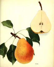 The figure shows a large pear of turbinate shape, yellow skin flushed red, and a sectioned pear. Pears of New York p.208, 1921.