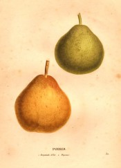 Figured are 2 pears, one green and round in shape the other yellow and more pyriform. Saint-Hilaire pl.32, 1828.