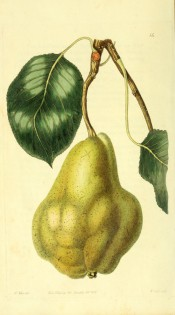 Figured is a knobbly, irregular pear with yellow, mottled skin. Pomological Magazine t.14, 1828.