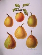 Figured are 6 pears, mostly roundish, green or yellow skin, streaked or mottled with russet. Herefordshire Pomona pl.28, 1878.