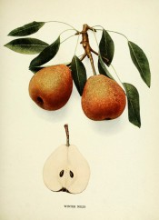 Shown are two pears, almost oval, with greenish-yellow skin heavily speckled with russet. Pears of New York p.234, 1921.