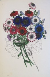 This beautiful picture shows a bouquet of cinerarias in shades of white, red and blue.  Paxton's Magazine of Botany p.149, 1845.