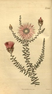 Figured are scale-like leaves, and rose-coloured daisy-like everlasting flowers.  Curtis's Botanical Magazine t.2365, 1822.