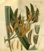The image shows a strap-like leaf, the dull yellowish-red flowers and seed pods.  Curtis's botanical Magazine t.3199, 1832.