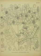 The uncoloured drawing shows leaves and cones.  Illustrations of the New Zealand Flora pl.190, 1914.