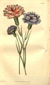 Unusual picotees, purple edged on a pink ground and purple edged on a blue ground.  Curtis's Botanical Magazine t.2744, 1827.