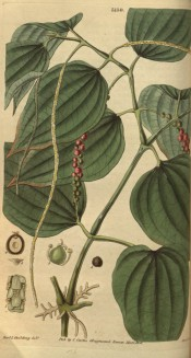 Figured is a climber with ovate leaves, long, narrow, pendant flower spike and berries. Curtis's Botanical Magazine t.3139,1832.