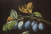 Figured is a shoot with ovate, toothed leaves and 3 pairs of purple-skinned plums. Pomona Britannicus pl.22, 1812.