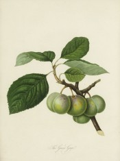 Figured is a cluster of 6 oval, green-skinned plums with foliage. Pomona Londinensis pl.38, 1818.