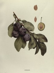 Figured is a shoot with ovate leave, 4 purple-skinned plums, a sectioned plum and stones. Plums of New York p.220, 1911.