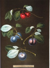 Figured are 4 plums, red cherry plum and 3 round blue plums with foliage. Pomona Britannica pl.14, 1812.