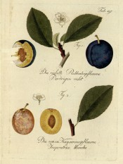 Figured are 2 plums, one yellow one purple, with leaves and flowers. Pomona Austriaca t.197, 1792.
