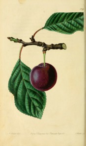 Figured is a shoot with oval, toothed leaves and a single purple-skinned plum. Pomological Magazine t.129, 1830.