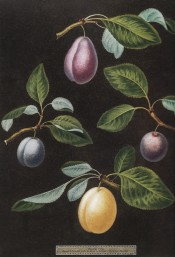 Figured are 4 plums, all oval in shape, 2 red, 1 blue and 1 yellow, with leaves. Pomona Britannica pl.17, 1812.