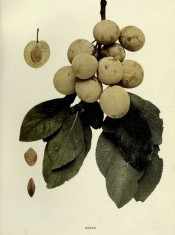 Figured is a shoot with ovate leave, 10 yellow-skinned plums, a sectioned plum and stones. Plums of New York p.155, 1911.