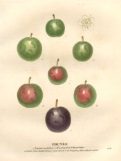 Figured are 7 round plums, 3 green, 3 green with a red blush, and 1 purple. Saint-Hilaire pl.224, 1830.