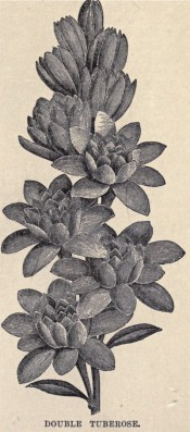 The illustration is a black and white drawing of the double tuberose.